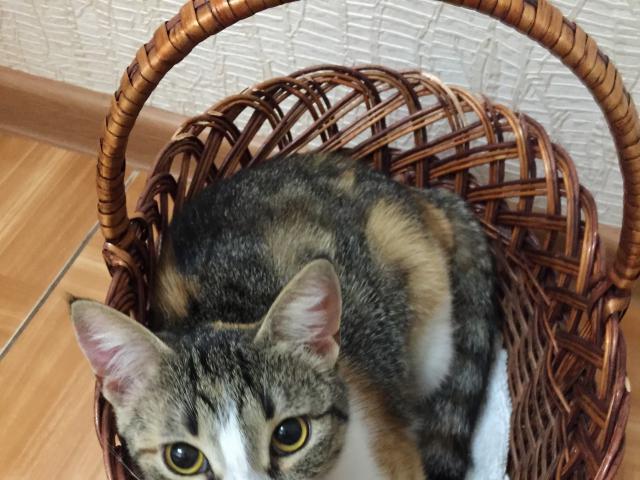Кошка.  Беспородные и метисы . Продаю в Краснодаре
