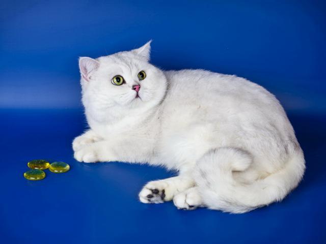 Кошка. Британская короткошерстная. Вязка в Москве
