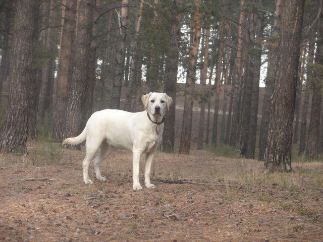 Собака. Лабрадор ретривер. Возьму в дар в Барнауле