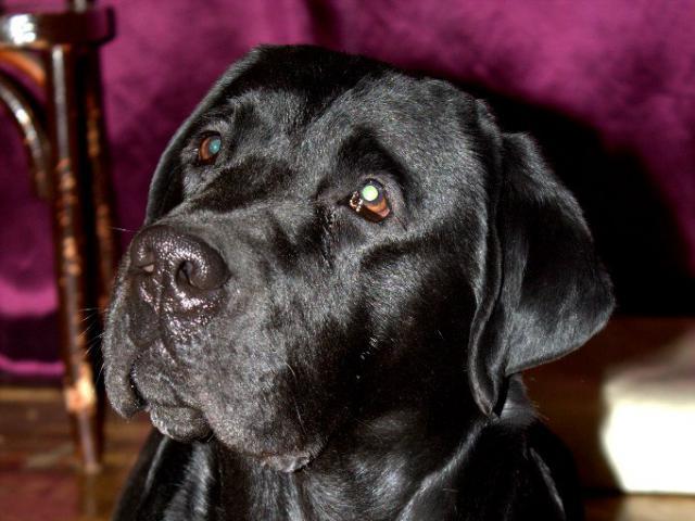 Собака. Лабрадор ретривер. Вязка в Нижнем Новгороде