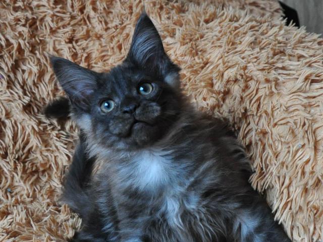 Кошка. Мэйн-кун . Продаю в Санкт-Петербурге