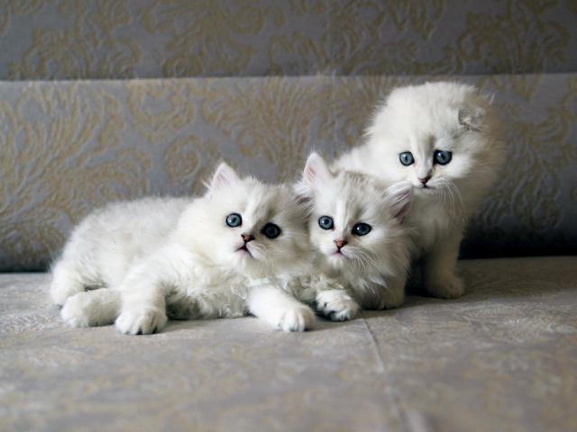 Кошка. Шотландская вислоухая (длинношерстная). Продаю в Великом Новгороде