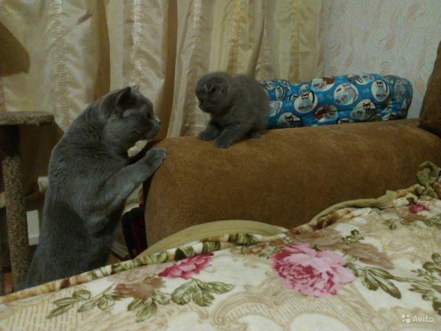 Кошка. Британская короткошерстная. Вязка в Красноярске