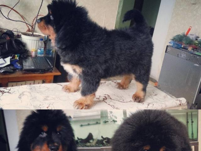 Собака. Тибетский мастиф (До-Кхый). Продаю в Кирове