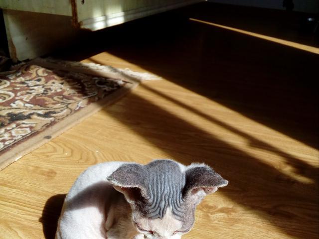 Кошка. Донской сфинкс. Продаю в Раменском