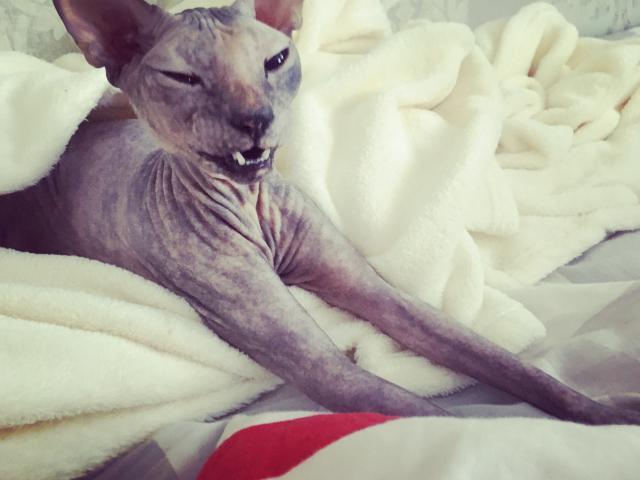 Кошка. Канадский сфинкс. Вязка в Тюмени