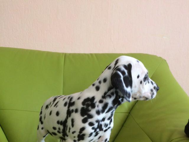 Собака. Далматин. Продаю в Могилеве