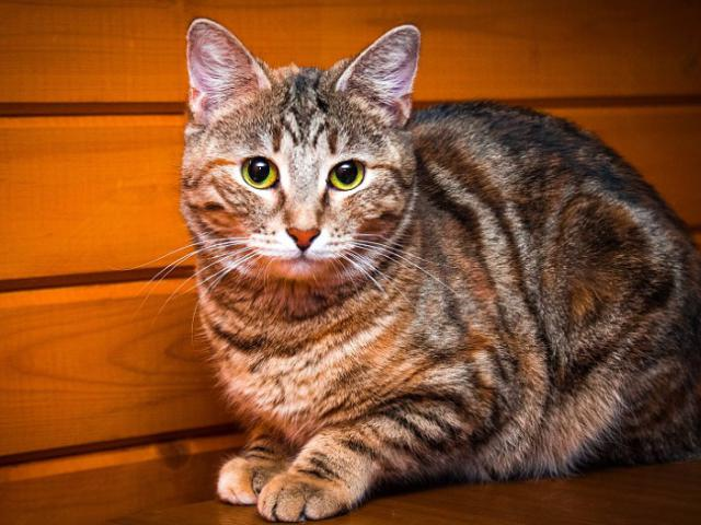 Кошечка Карамелька в дар, в добрые руки.