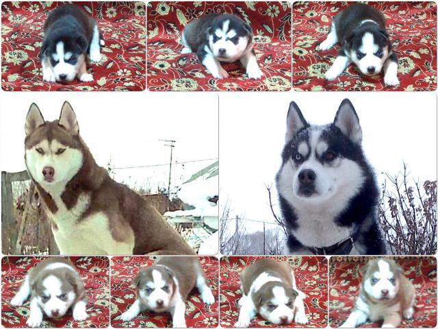 Собака. Сибирский хаски . Продаю в Барнауле