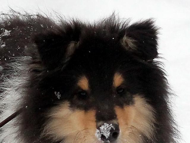 Собака. Колли длинношерстная. Продаю в Санкт-Петербурге