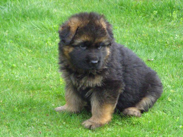 Собака. Немецкая овчарка. Продаю в Железнодорожном