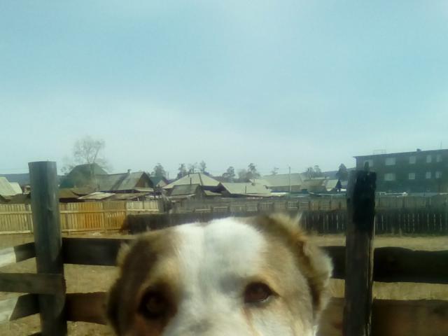 Собака. Среднеазиатская овчарка (Алабай). Отдам в дар в Иркутске