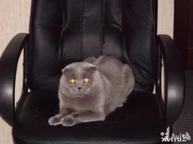 Кошка. Шотландская вислоухая (короткошерстная). Вязка в Томске