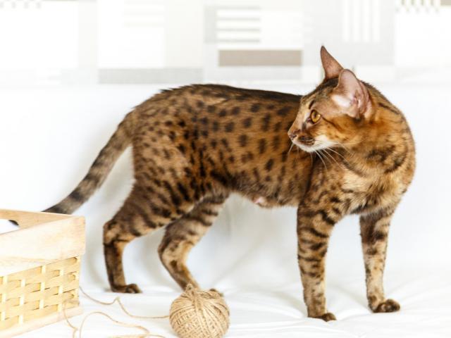 Кошка. Саванна. Продаю в Самаре