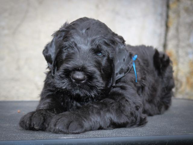 Собака. Русский черный терьер. Продаю в Балашихе