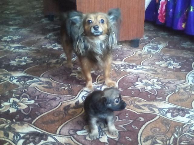 Собака. Русский той терьер. Продаю в Новосибирске