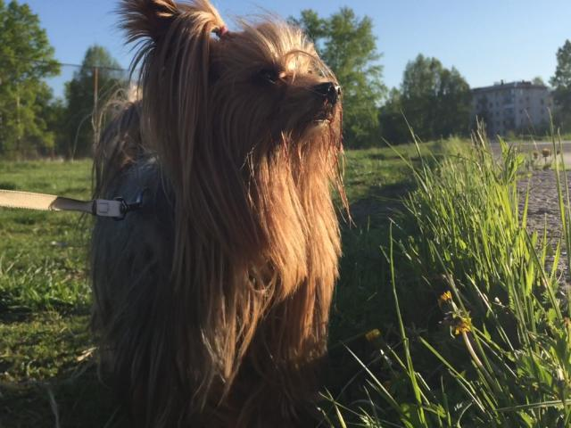 Собака. Йоркширский терьер . Вязка в Красноярске