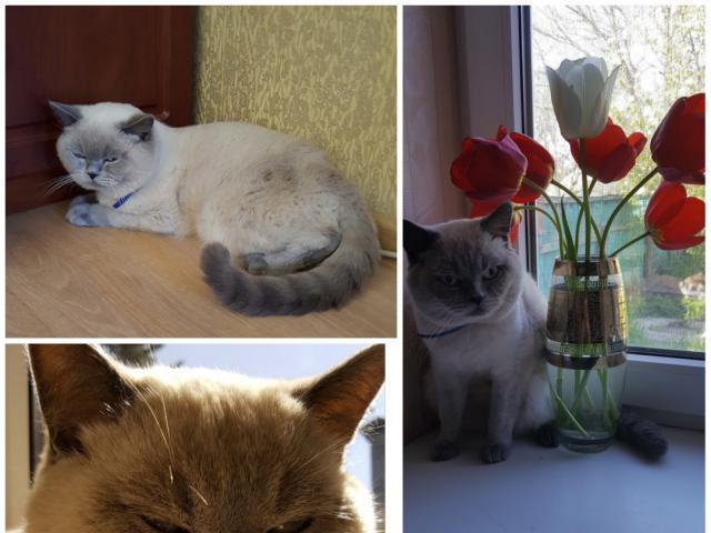 Кошка. Шотландская вислоухая (короткошерстная). Вязка в Ростове-на-Дону
