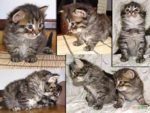Кошка. Сибирская. Отдам в дар в Новосибирске