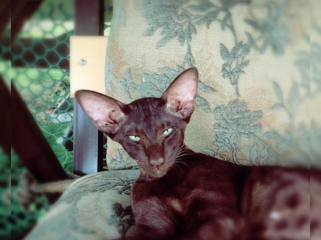 Кошка. Ориентальная (короткошерстная). Вязка в Москве