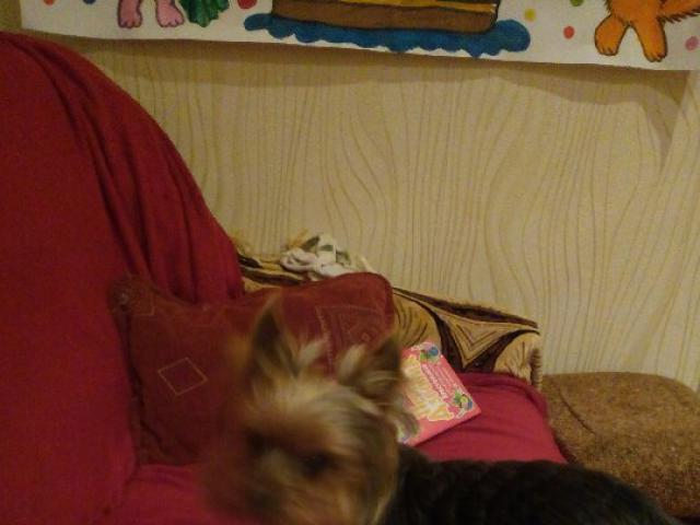 Собака. Йоркширский терьер . Вязка в Люберцах