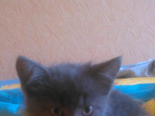 Кошка. Русская голубая. Отдам в дар в Ижевске