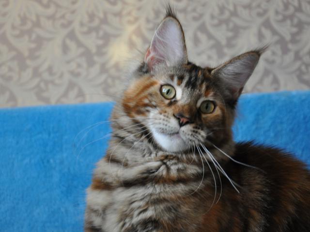 Кошка. Мэйн-кун . Продаю в Хабаровске