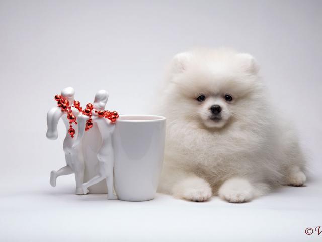 Собака. Немецкий шпиц карликовый (померанский). Продаю в Санкт-Петербурге