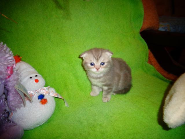 Кошка. Британская короткошерстная. Продаю в Железнодорожном