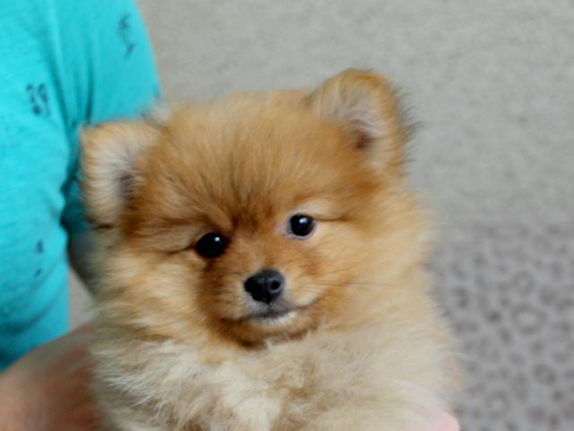 Собака. Немецкий шпиц карликовый (померанский). Продаю в Москве