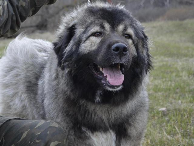 Собака. Кавказская овчарка. Продаю в Воронеже