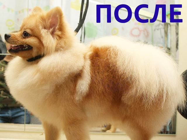 Собака. Немецкий шпиц малый. Вязка в Москве