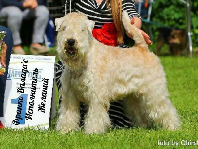 Собака. Ирландский мягкошерстный пшеничный терьер. Продаю в Калуге