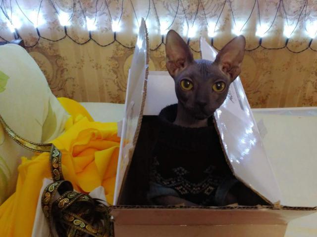 Кошка. Канадский сфинкс. Вязка в Москве