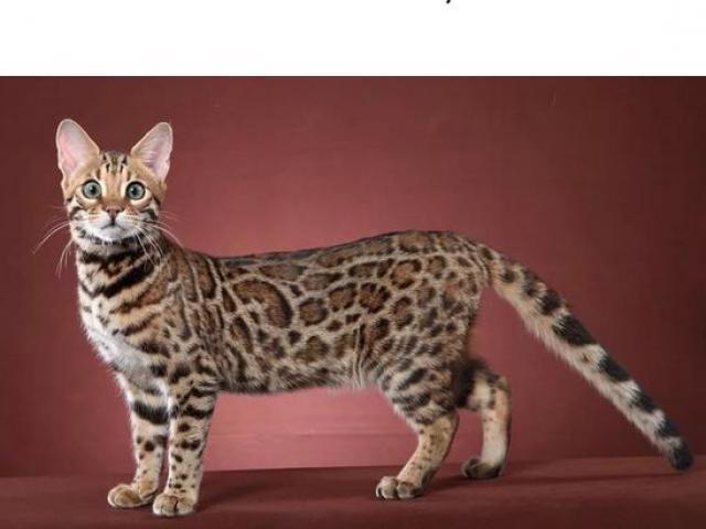 Кошка. Бенгальская короткошерстная. Отдам в дар в Санкт-Петербурге