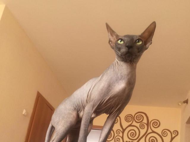 Кошка. Канадский сфинкс. Вязка в Сочи