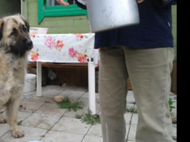 Собака. Среднеазиатская овчарка (Алабай). Отдам в дар в Жигулёвске