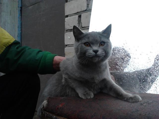 Кошка. Британская короткошерстная.  в Казани