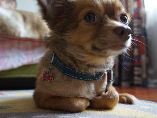 Собака. Чихуахуа . Вязка в Москве
