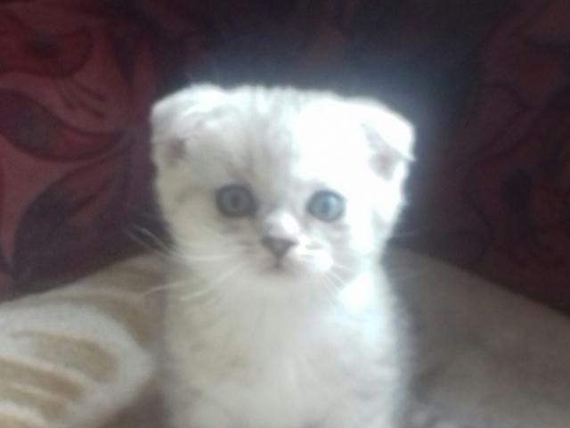 Кошка. Шотландская вислоухая (короткошерстная). Продаю в Мытищах