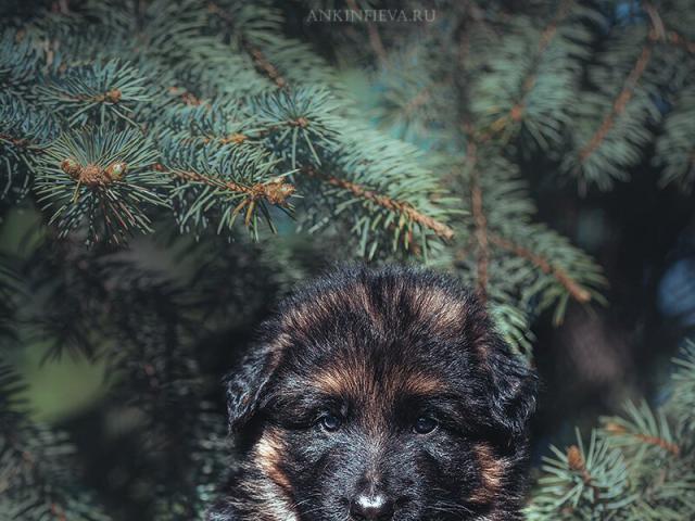Собака. Немецкая овчарка. Продаю в Санкт-Петербурге