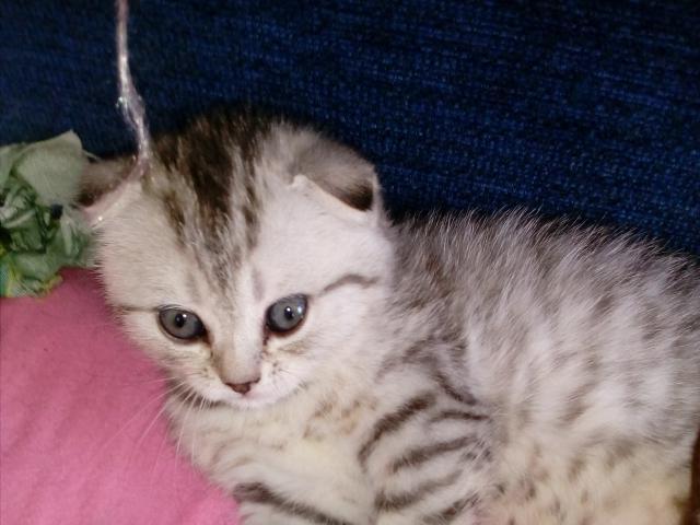 Кошка. Шотландская вислоухая (короткошерстная). Продаю в Барнауле