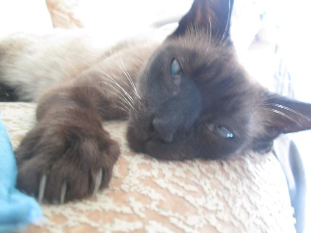 Кошка. Сиамская. Потеря/Находка в Санкт-Петербурге