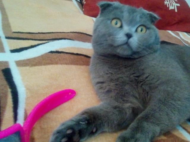 Кошка. Шотландская вислоухая (короткошерстная). Возьму в дар в Краснодаре