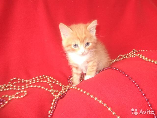 Кошка. Бразильская короткошерстная. Отдам в дар в Новосибирске