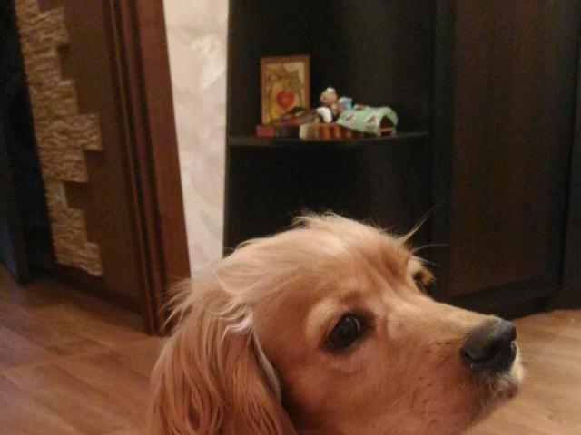 Собака. Кинг Чарльз спаниель . Потеря/Находка в Барнауле