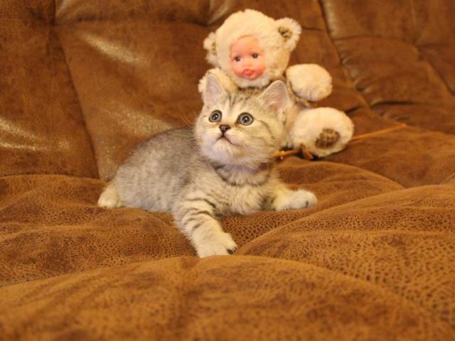 Кошка. Скоттиш-страйт. Продаю в Клине