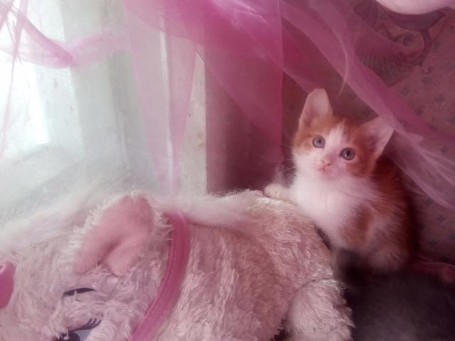 Кошка. Европейская короткошерстная. Отдам в дар в Казани