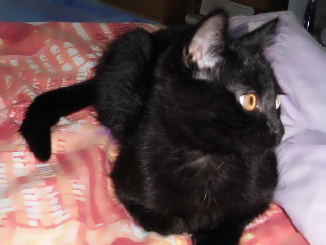 Кошка.  Беспородные и метисы . Отдам в дар в Пензе