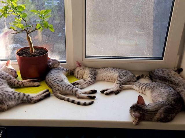Кошка. Египетская Мау. Продаю в Санкт-Петербурге